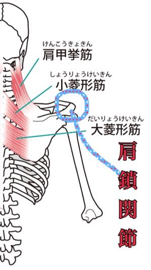 肩甲骨の関節