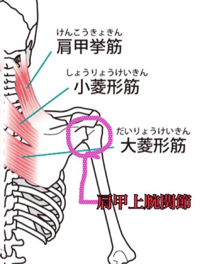 肩甲骨の構造